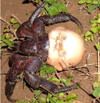 'Terrifying' photo shows hermit crab using a doll's head for a shell